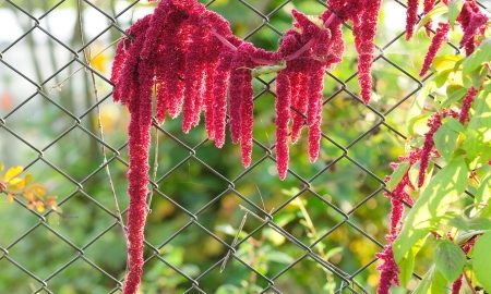 18252235 - blooming amaranth (love-lies-bleeding) growing by a chain-link fence