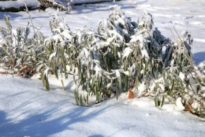 51351221 - herbs under snow in herbal rustic home garden. winter lavender, lavandula and sage.
