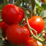 warum_brauchen_tomaten_ein_dach