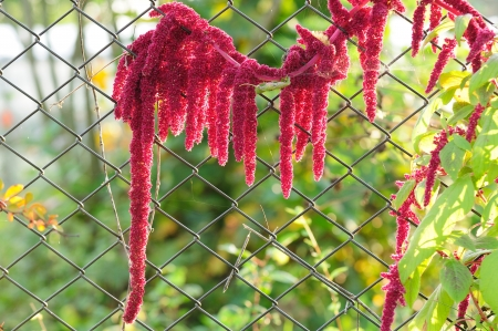 Fuchsschwanz – Farbenfrohe Andenpflanze auch für unsere Gärten