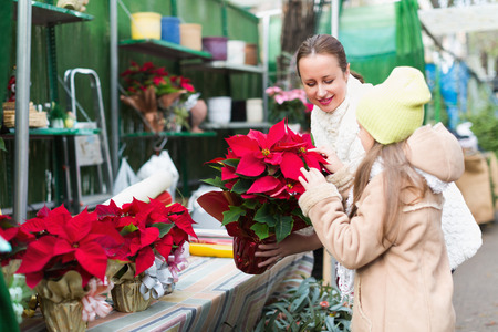 weihnachtssterne und andere typische weihnachtspflanzen pflegen. Black Bedroom Furniture Sets. Home Design Ideas