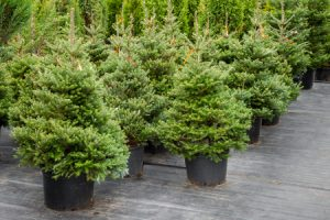 40900148 - christmas trees in pots for sale