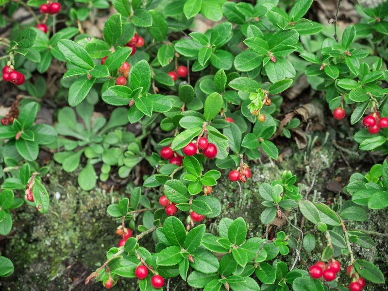 Cranberries im eigenen Garten anbauen