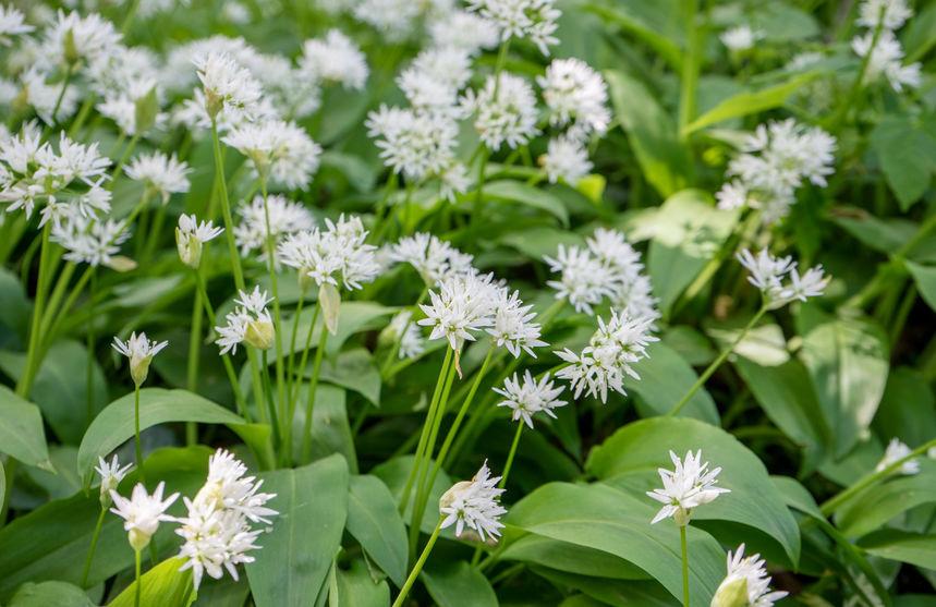 Bärlauch pflanzen – ein würziges Wildkraut erobert die Gärten