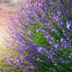 Lavendel im Sommer: So schneiden Sie ihn richtig
