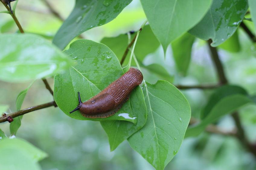 Schneckenplage – diese Pflanzen mögen Schnecken nicht
