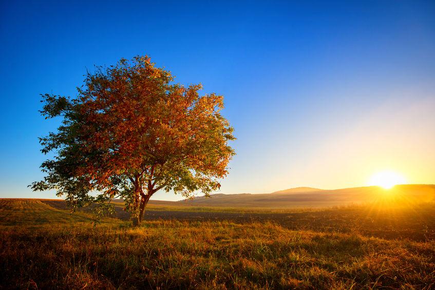 Der Walnussbaum – ein prächtiges Gehölz mit hohen Ansprüchen