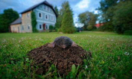 Maulwurf im Garten – was tun?